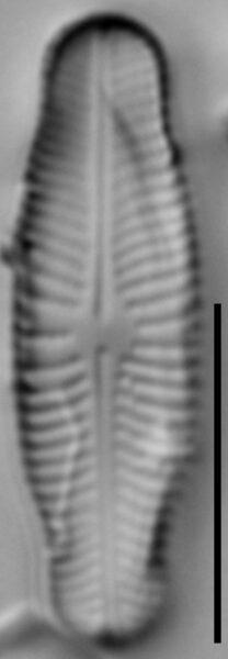 Navicula genovefae LM1