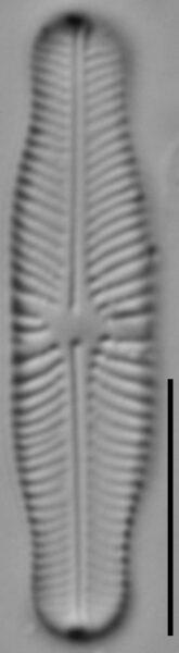 Navicula genovefae LM6