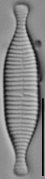 Fragilariforma marylandica LM3