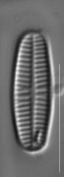Rossithidium pusillum LM12