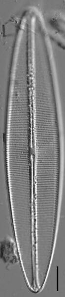 Craticula coloradensis LM2