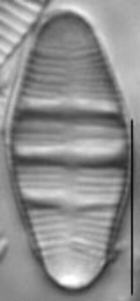 Odontidium mesodon LM2