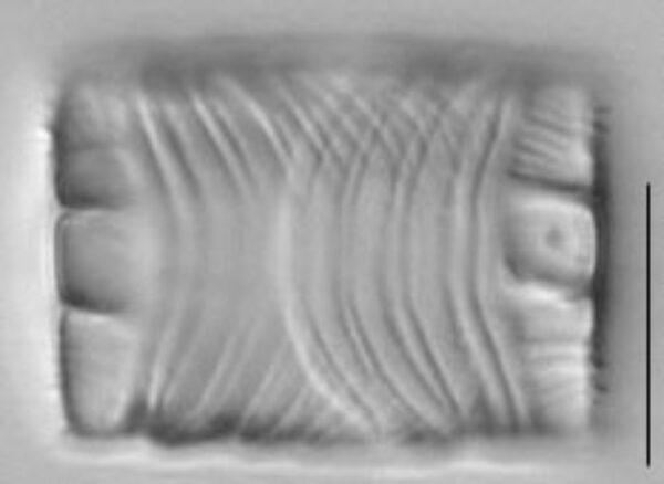 Odontidium mesodon LM4
