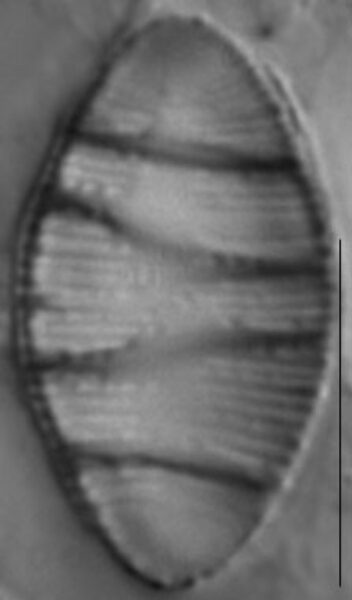 Odontidium mesodon LM6
