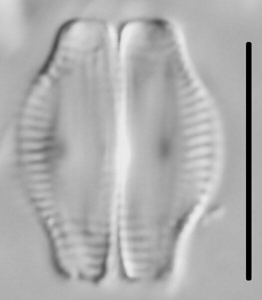 Halamphora thumensis LM4