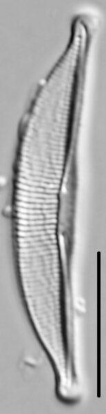 Halamphora oligotraphenta LM1