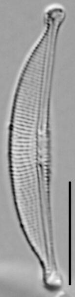 Halamphora oligotraphenta LM7