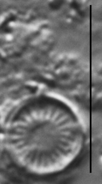 Discostella pseudostelligera LM1