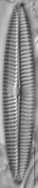Navicula tripunctata LM4