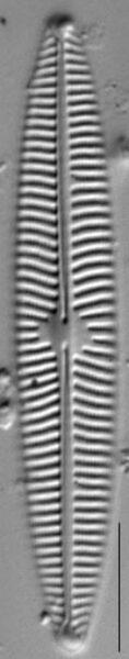 Navicula tripunctata LM6