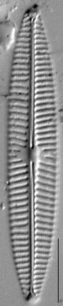 Navicula tripunctata LM8