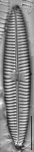 Navicula tripunctata LM10