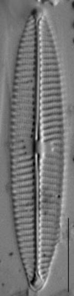 Navicula tripunctata LM12