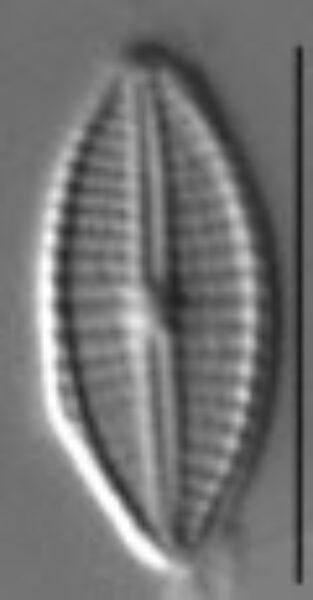 Craticula subminuscula LM2