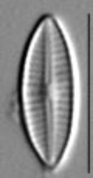 Craticula subminuscula LM5