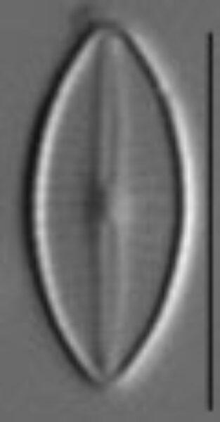 Craticula subminuscula LM7