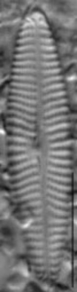 Navicula erifuga LM3