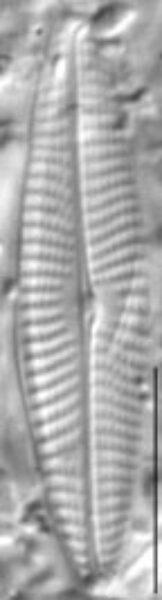 Navicula erifuga LM5