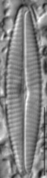 Navicula erifuga LM6