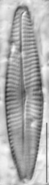 Navicula erifuga LM7