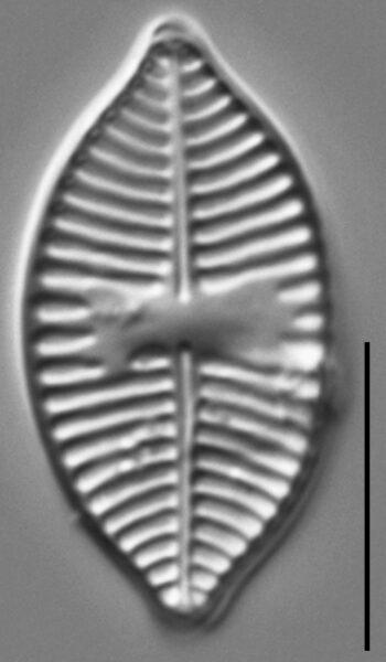 Planothidium lanceolatoide LM7