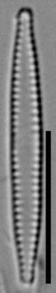 Fragilaria pennsylvanica LM3