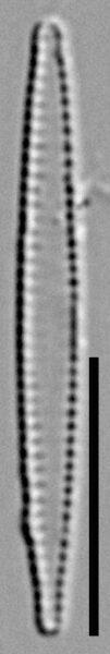 Fragilaria pennsylvanica LM2