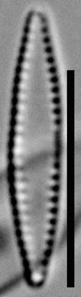 Fragilaria pennsylvanica LM7
