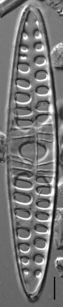 Craticula coloradensis LM7