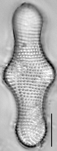 Achnanthes inflata LM1