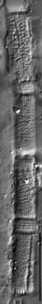 Aulacoseira herzogii LM6