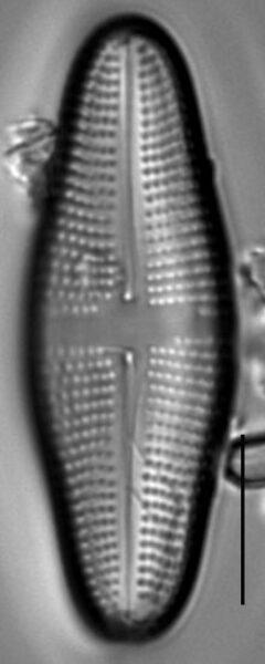 Achnanthes longboardia LM1