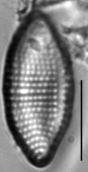 Achnanthes felinophila LM4