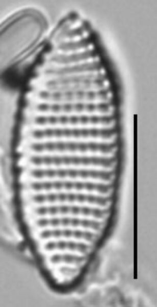 Achnanthes felinophila LM7