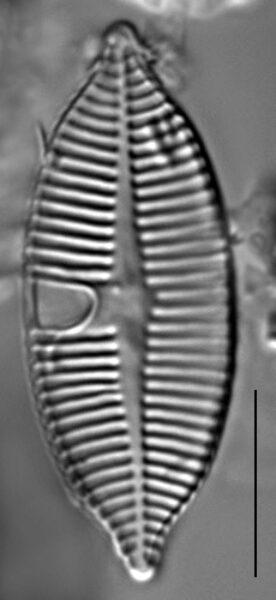 Planothidium apiculatum LM1