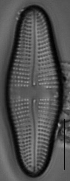 Achnanthes longboardia LM6