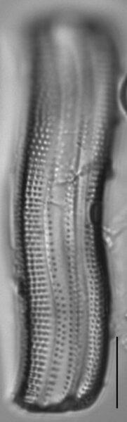 Achnanthes longboardia LM2