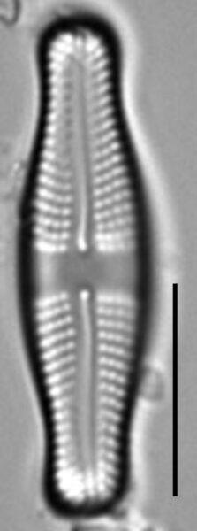 Achnanthes mauiensis LM2