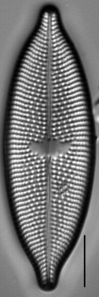 Aneumastus rostratus LM3