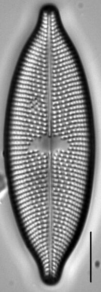 Aneumastus rostratus LM5