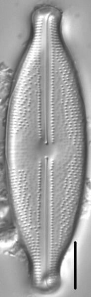 Anomoeoneis sphaerophora LM2