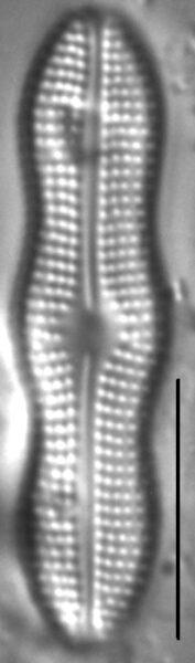 Boreozonacola hustedtii LM4