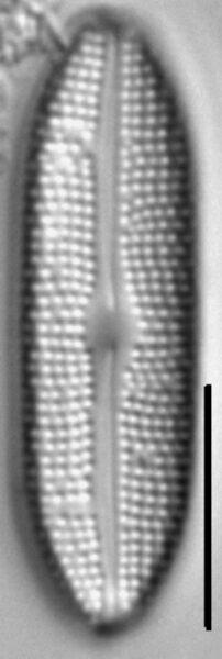 Boreozonacola olympica LM5