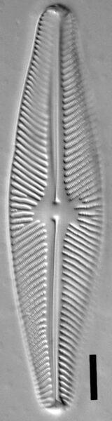 Navicula ludloviana LM6