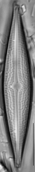 Bracysira neoacuta LM3
