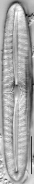 Frustulia asiatica LM2