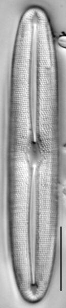 Frustulia asiatica LM3