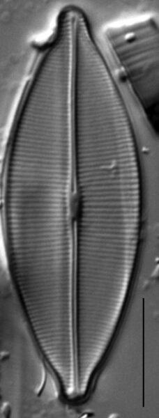 Craticula accomodiformis LM2