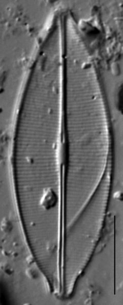 Craticula accomodiformis LM1