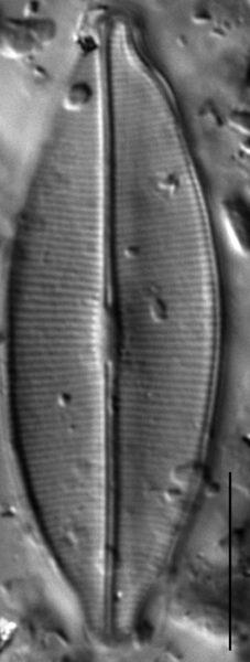 Craticula accomodiformis LM5